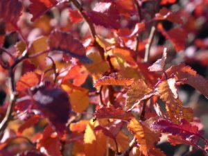Autumn Prunus 'Kojo-No-Mai'