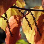 Stachyurus chinensis 'Celina'